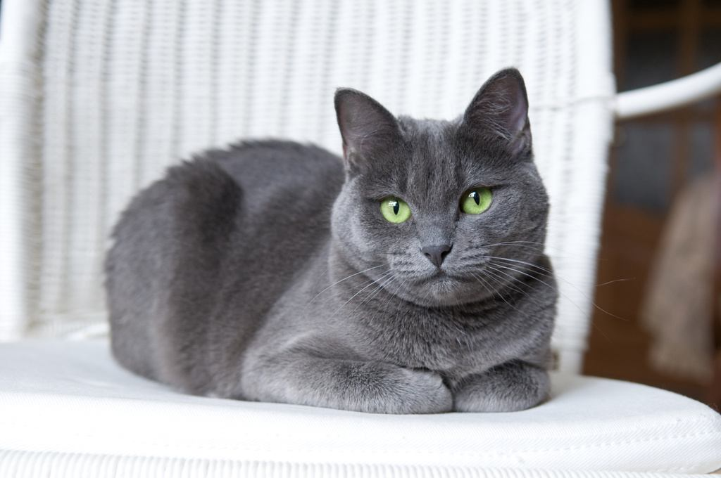Russian Blue Cat on a chair