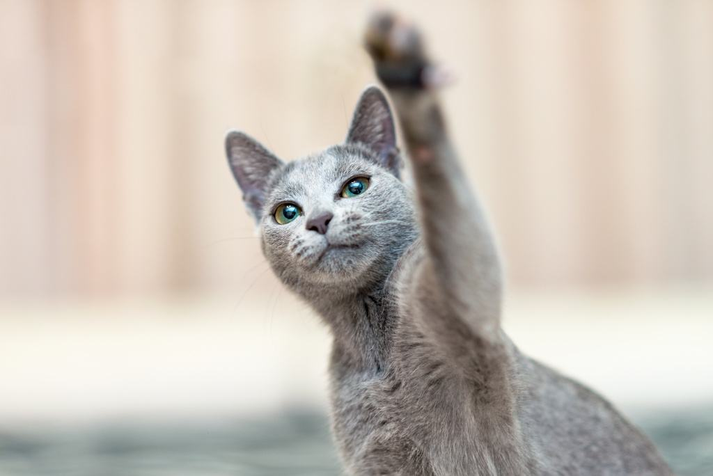Russian Blue Cat Playful Paw