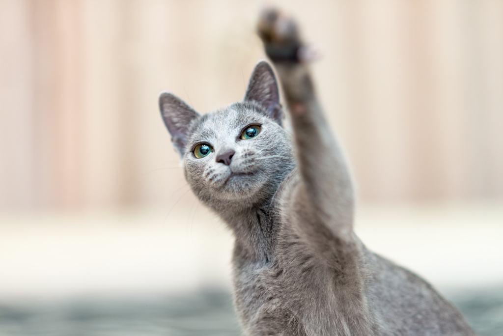 Russian Blue Cat Playful Paw