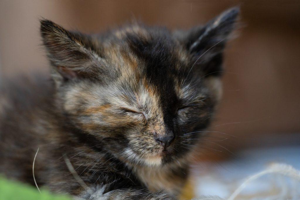 Cute little calico kitten is sitting on the floor sleeping