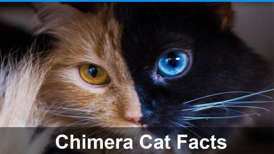 chimera cat with one brown and one blue eye