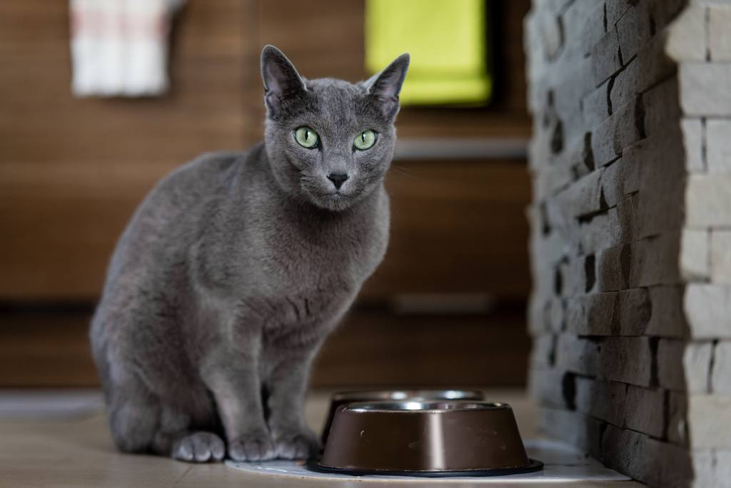 Rusian blue cat by food bowl
