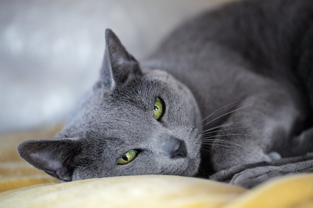 Russian Blue Cat Lying Down