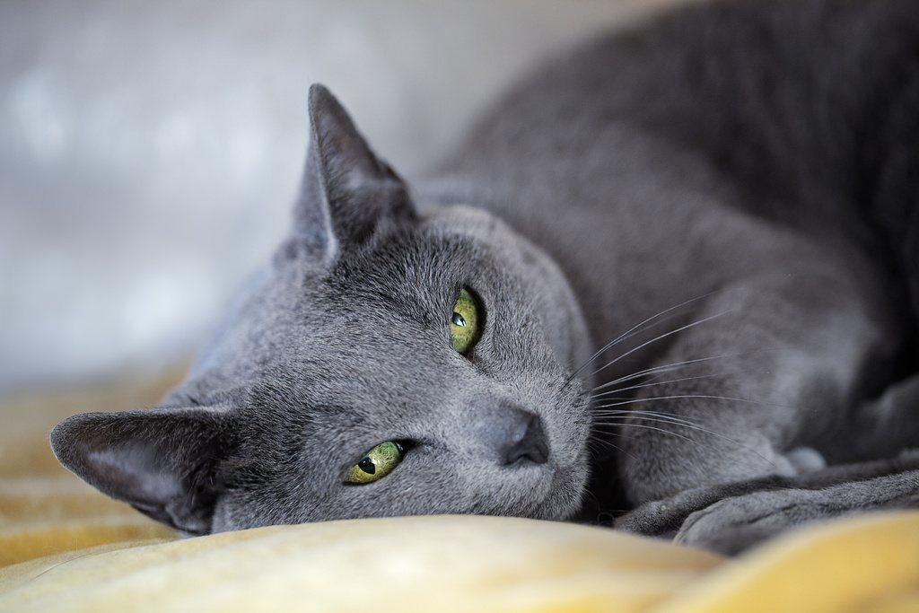 Russian Blue Cat Lying Down