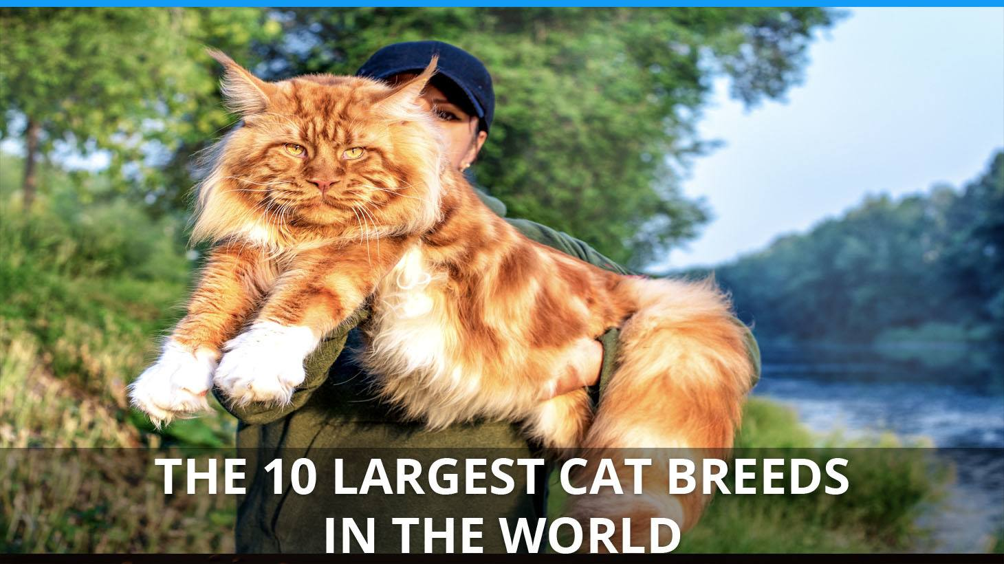 The 10 Largest Cat Breeds Ranking The Biggest Domestic Cats